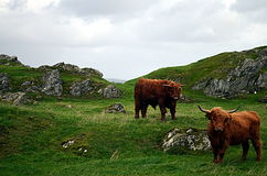 Cows on a pasture in norway Royalty Free Stock Images