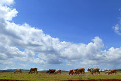 Cows in a pasture not far away Moiale. Africa, Ethiopia. Royalty Free Stock Photo