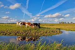 Cows on pasture over blue sky Royalty Free Stock Images