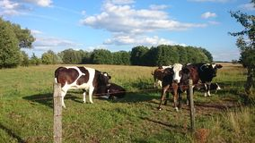 Cows on pasture. The Photo shows the cows to graze in the beautiful and sunny summer day Stock Image