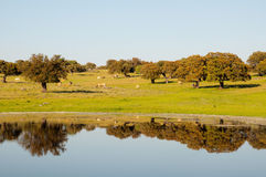 Cows on pasture. Reflection of trees in lake Royalty Free Stock Images
