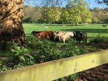 Cows at Pasture Royalty Free Stock Image