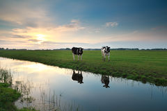 Cows on pasture by river at sunset Royalty Free Stock Photos
