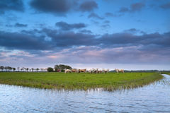 Cows on pasture by river at sunset Stock Photos