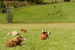 Cows on pasture. Some cows graze on a lush green meadow in hilly landscape Stock Photography