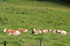 Cows on pasture. Some cows take it easy in Kaprun in Austria Royalty Free Stock Image