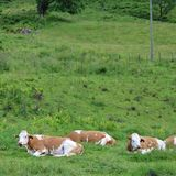 Cows on pasture. Some cows take it easy in Kaprun in Austria Stock Images
