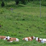 Cows on pasture. Some cows take it easy in Kaprun in Austria Royalty Free Stock Photos