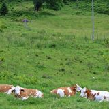 Cows on pasture. Some cows take it easy in Kaprun in Austria Royalty Free Stock Photo