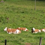 Cows on pasture. Some cows take it easy in Kaprun in Austria Stock Photography