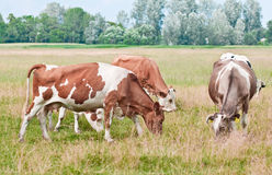 Cows pasture Royalty Free Stock Photography