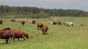 Cows at pasture stock video