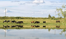 Cows on pasture in the summer Stock Images