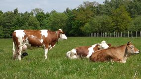 Cows on pasture stock video footage