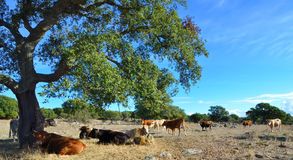 Cows. On pasture on a sunny summer day Royalty Free Stock Image