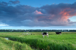 Cows on pasture at sunset Royalty Free Stock Image