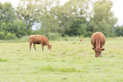Cows on pasture, Sweden Stock Image