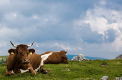 Cows. At pasture on the topof the mountain Royalty Free Stock Photo