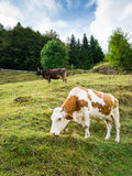 Cows on the pasture Stock Images