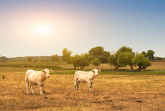 Cows on pasture. Two white cow on pasture Royalty Free Stock Image