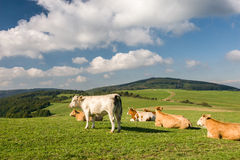 Cows on pasture under sky with clouds Royalty Free Stock Photography