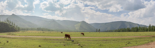 Cows in a pasture in the valley of the Eastern Sayan mountains. Stock Photos