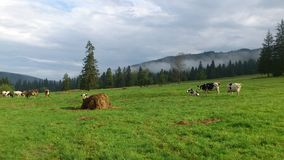 Cows on pasture in Western Tatras Mountains Stock Image