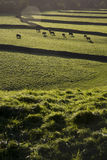Cows on pasture in Yorkshire Dales Yorkshire England Royalty Free Stock Photos