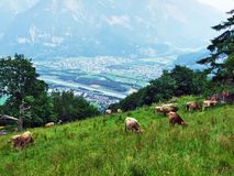 Cows on the pastures of the slopes of Gonzen mountain in the Appenzell Alps mountain range. Canton of St. Gallen, Switzerland royalty free stock photography