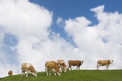 Cows Pasturing Royalty Free Stock Image