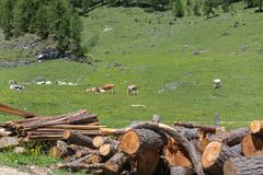 Cows Pasturing in Grazing Lands: Italian Dolomites Alps Scenery Royalty Free Stock Images