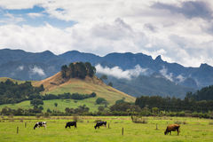 Cows pasturing on a green meadow in New Zealand Royalty Free Stock Photography