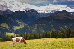 Cows pasturing on meadows high in the mountains stock photography