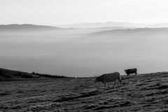 Cows pasturing on top of a mountain at sunset, with fog covering the valley underneath Royalty Free Stock Photos