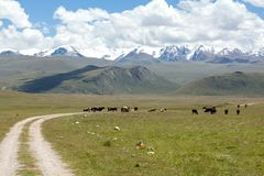 Cows pasturint in the mountains, Tien Shan. Kyrgyzstan Stock Image