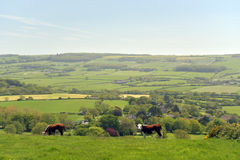 Cows beside path above Corfe Castle Stock Images