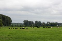 Cows in the Pature Royalty Free Stock Photo