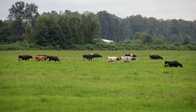 Cows in the Pature Royalty Free Stock Images