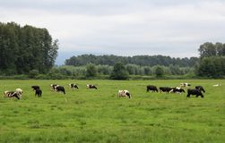 Cows in the Pature Royalty Free Stock Photography
