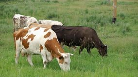 Cows in the Meadow stock video
