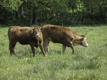 two grazing cows in a pasture royalty free stock photo