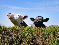 Cows peering over a hedgerow