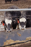 Cows in a Pen Royalty Free Stock Photo