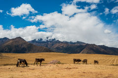 Cows peruvian Andes  Cuzco Peru Royalty Free Stock Photography