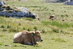 Cows in the Picos de Europa royalty free stock photo