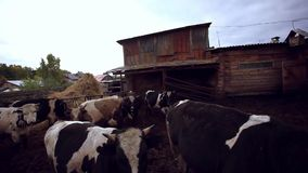 Cows and pigs graze on a farm stock video footage