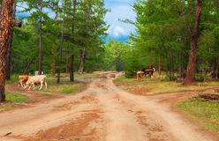 Cows  in pine forest. Cows pasturing in the pine forest Royalty Free Stock Images