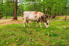 Cows  in pine forest. Cows pasturing in the pine forest Royalty Free Stock Photo