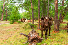 Cows  in pine forest. Cows pasturing in the pine forest Stock Photos