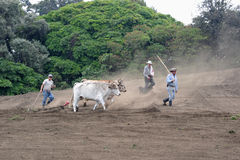 Cows Plow the field Stock Images